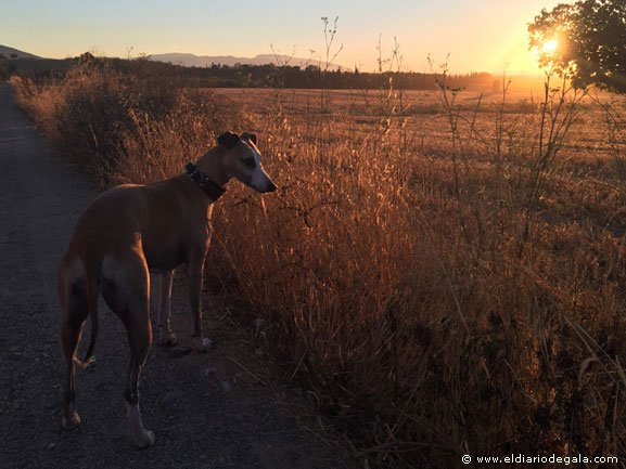 Amanecer con una Whippet