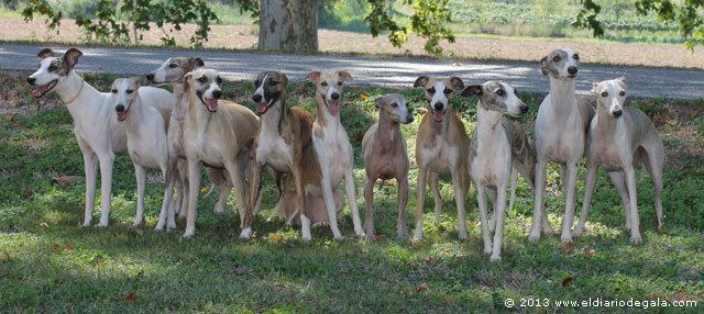 Los mejores Whippets