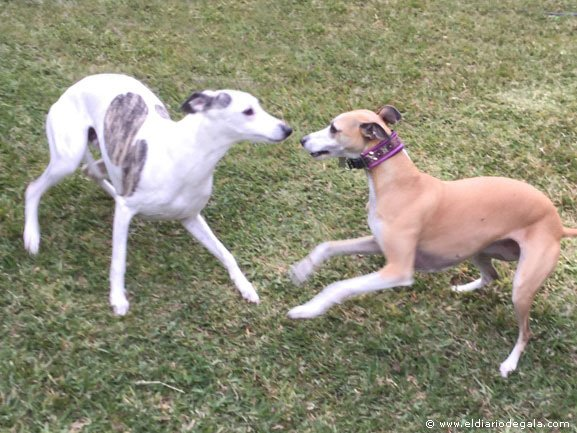 Indio y Guss, dos Whippets muy familiares