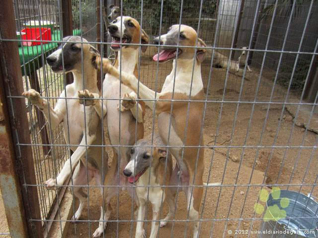 Recibimiento Whippet