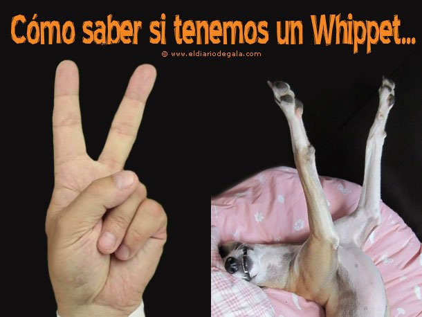 reconocer_un_whippet
