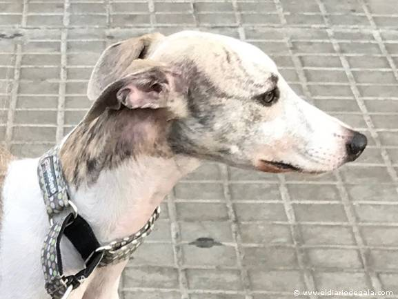 Rufus, perfil Whippet
