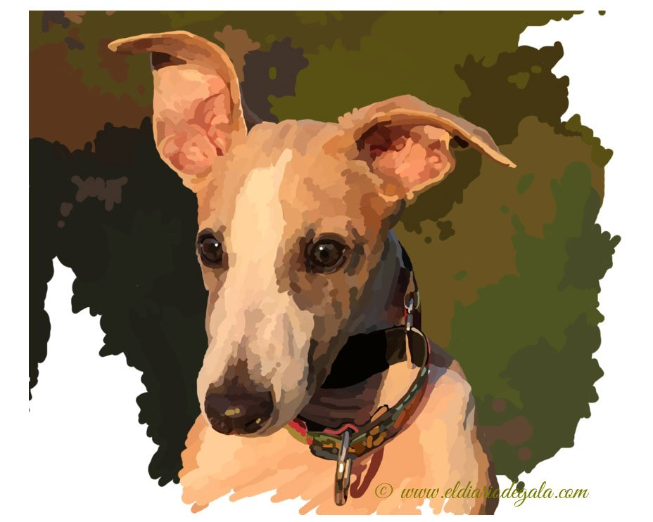 siroco_the_whippet